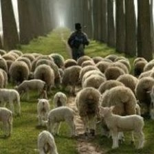 sheep_flock-1